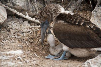 Galapagos0..bieBaby.jpg