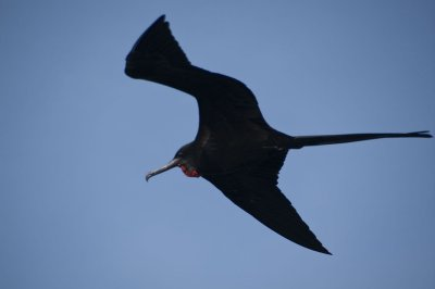 Male Frigate Bird - Males have a red sac on their chin that they inflate to attract females