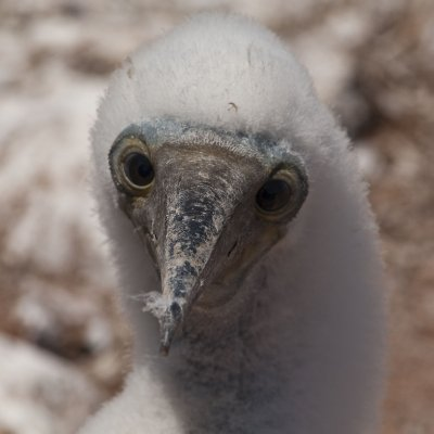 Baby Blue Footed Boobie