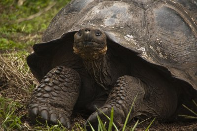 Giant Galapagos Domed Tortoise