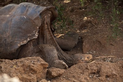 Giant Galapagos Saddle-back Tortoise