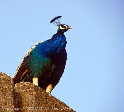 Peacock Pose