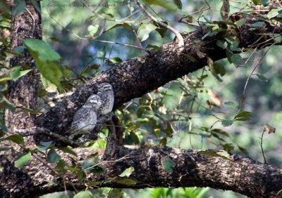 Tough night?  Jungle owlets.