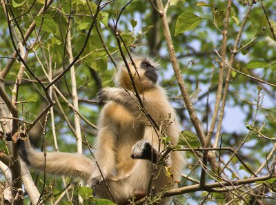 The beautiful, and aptly named, Golden Langur.