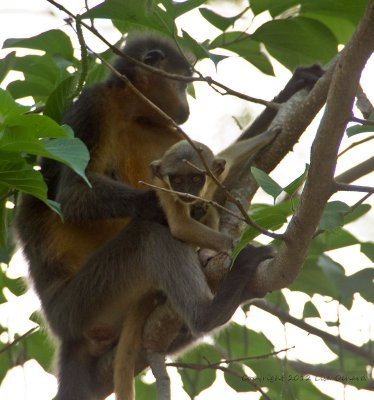 Curious George? Capped langurs in our camp.