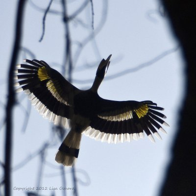 Outstretched, almost translucent, wings of the Great Indian Hornbill.