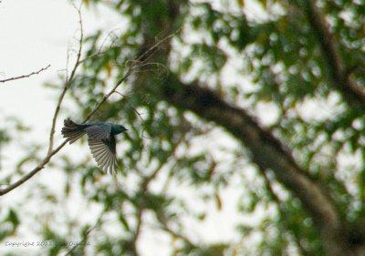 Verditer Flycatcher on wing.