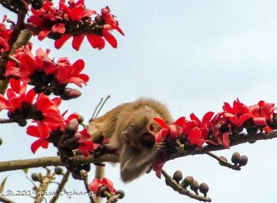 Wonder what the silk-cotton tree flowers taste like?  Looks good!