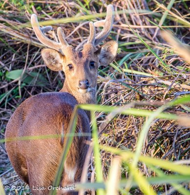 Hog Deer Hello!