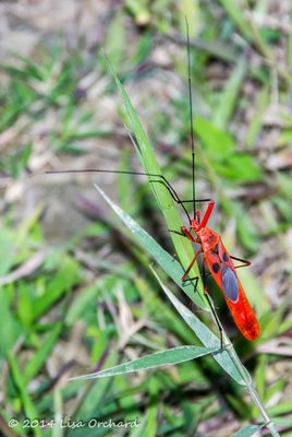 Interesting and large red bug -- if anyone knows what its name is, let me know!