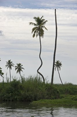 Wacky palm in Kerala