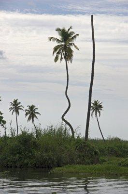 Wacky palm in Kerala