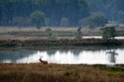 Barasingha, or swamp deer