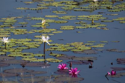 Lilies in Kanha