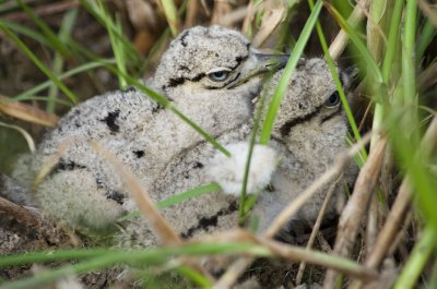 Great Thick-knee chicks