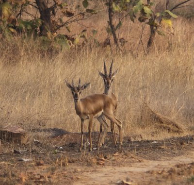 Chinkara couple