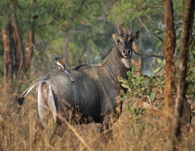 Nilgai Antelope and Rufous Treepie