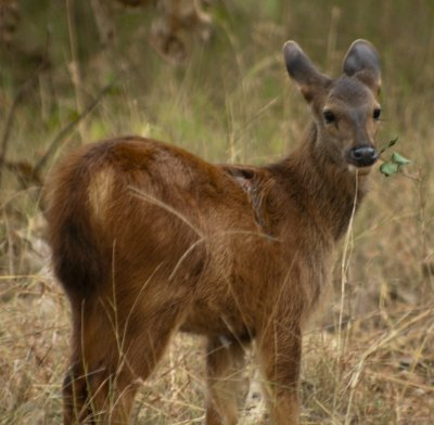 Baby sambar with leopard wound on its shoulder