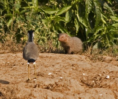 Mongoose being confronted by anxious Lapwing as it searched for eggs