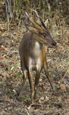 Knock-kneed Barking Deer