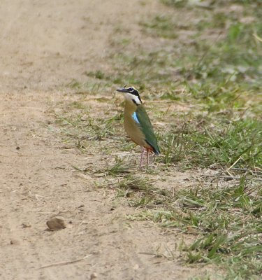 Indian Pitta, saw one, at the start of their migration to the park, then they were everywhere!