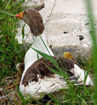 Temple goose