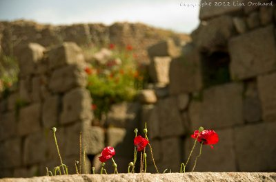 ...more poppies!