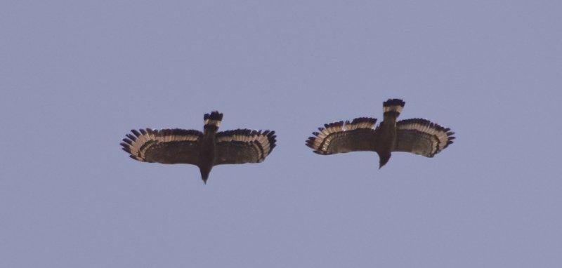 Serpent Eagles in mating flight.