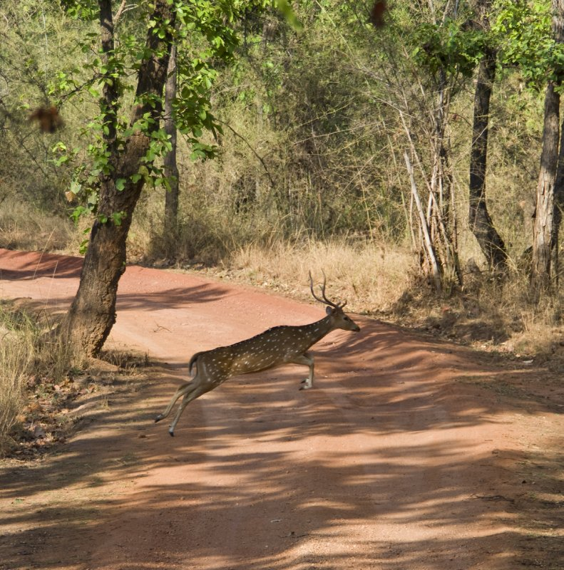 Chital in mid-leap