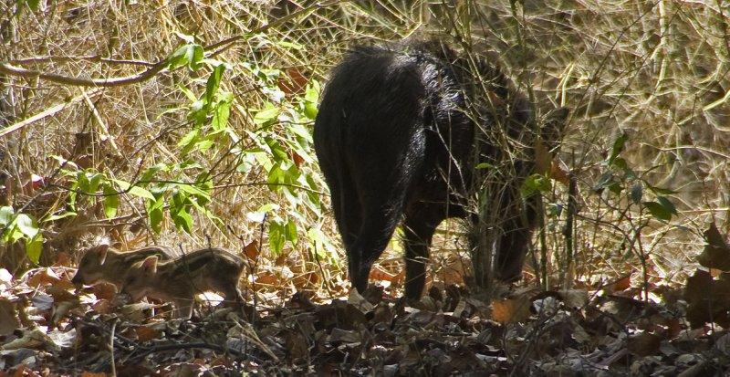 Teeny tiny baby wild boar