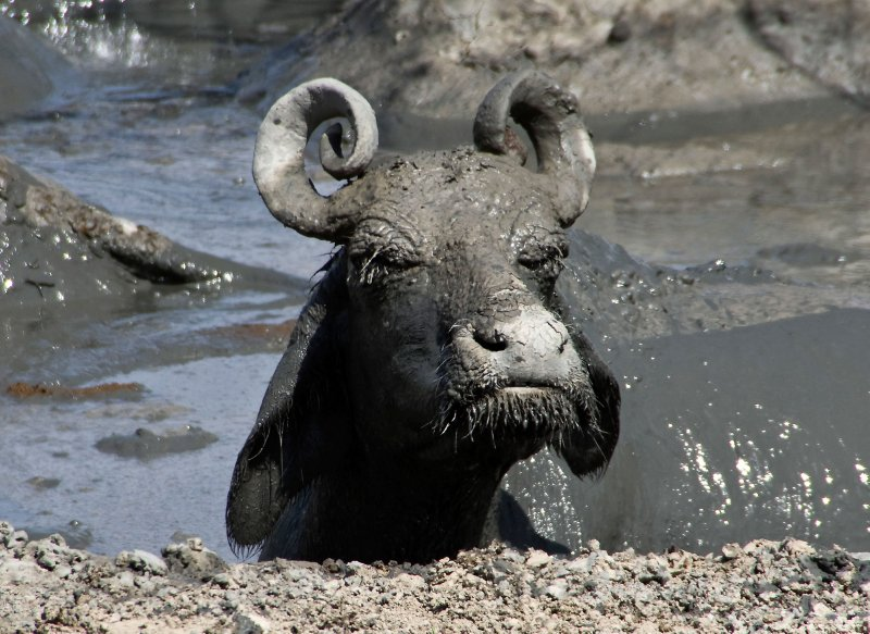 Mickey-Mouse-eared Buffalo enjoying the mud bath!