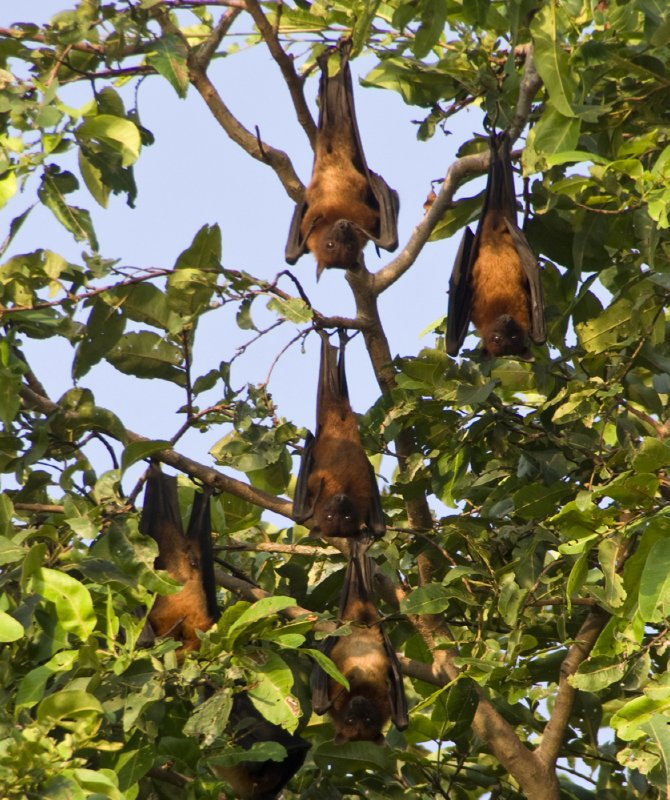 Fruit bats as interested in us as we were in them!