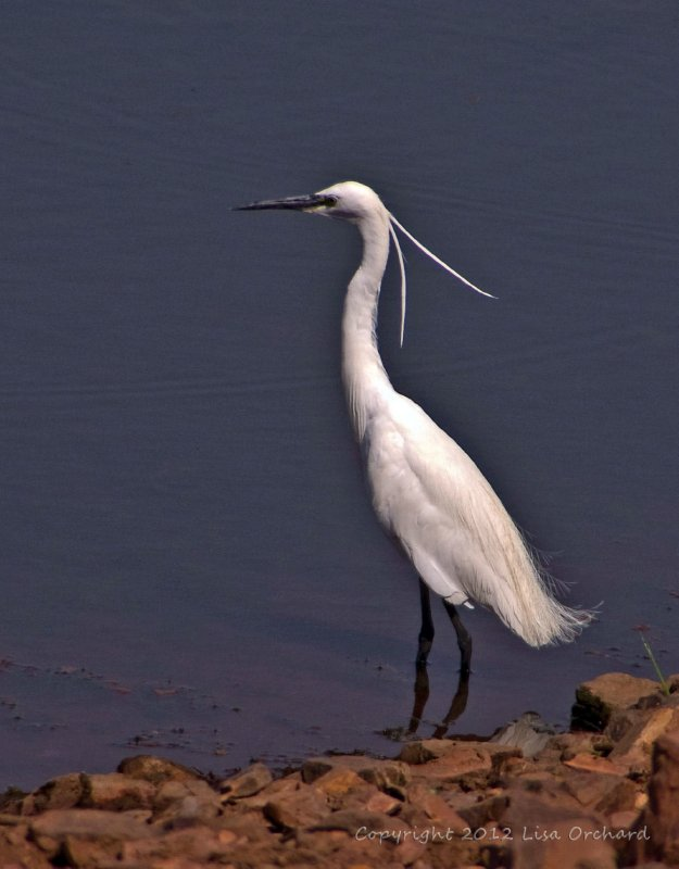 Breeding plumage on a great Egret