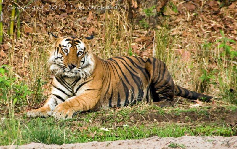 The new resident dominant male in Bandhavgarh's core zone - Bamera