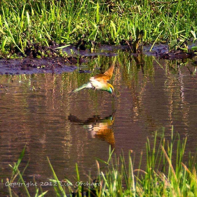 Green Bee-eater taking a drink