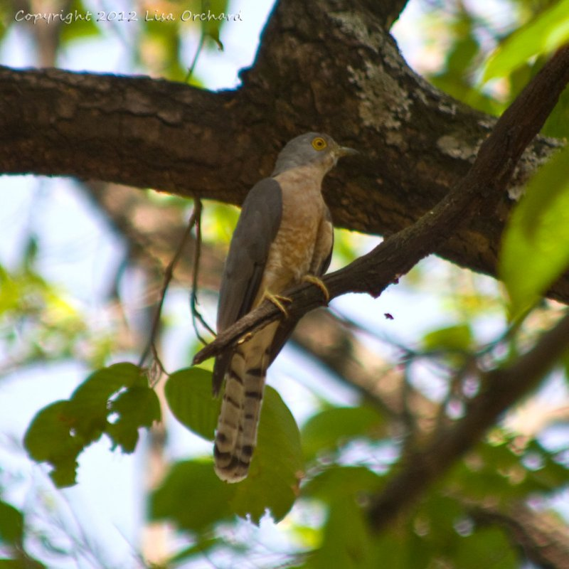 Common Hawk Cuckoo actually sitting still!  More commonly known as the brain fever bird