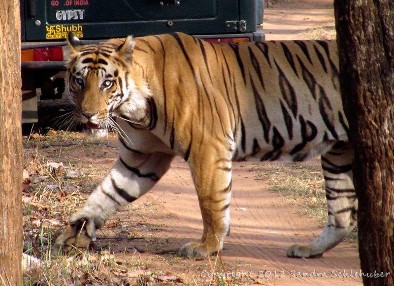 We call him Frank! A blue-eyed tiger in Bandhavgarh!
