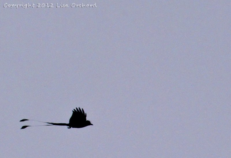 Racket-tailed Drongo in the sky