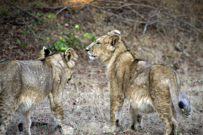 Their fur is also different from the African lion.  More variation with darker tipped hairs