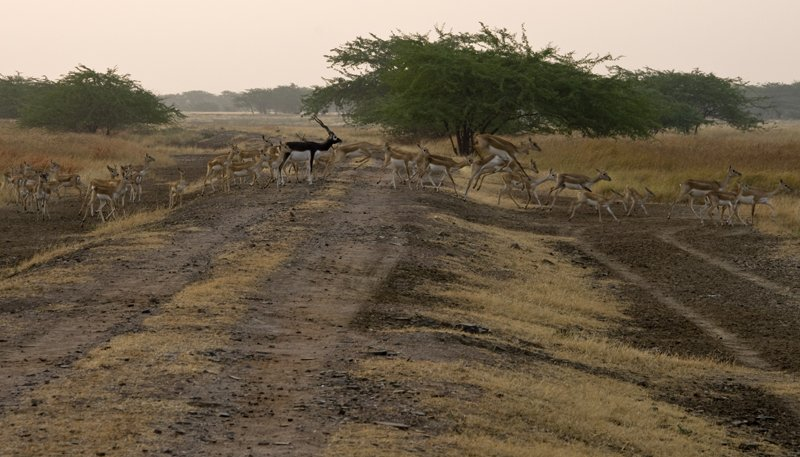 Large blackbuck herd crossing our path in the early morning hours.