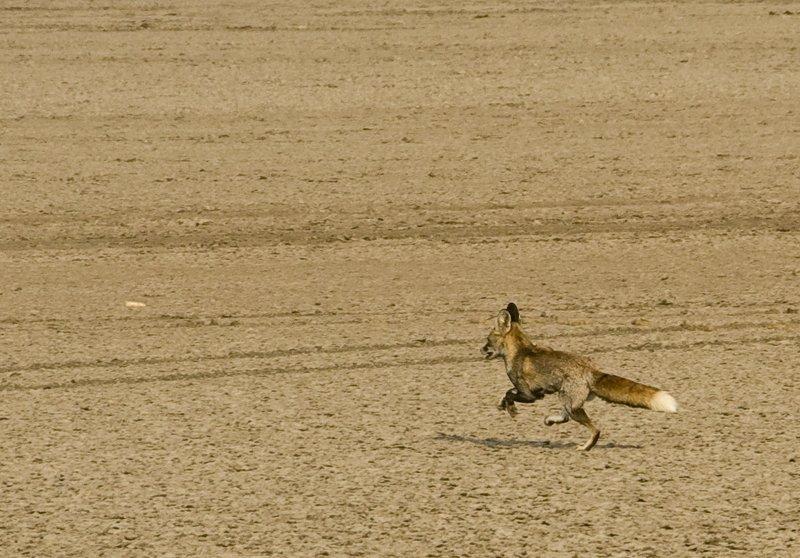 Desert fox fleeing to a safe distance before posing.