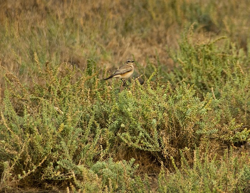 Lovely bushchat posing on the succulent plant that provides nourishment and water to the wildass.