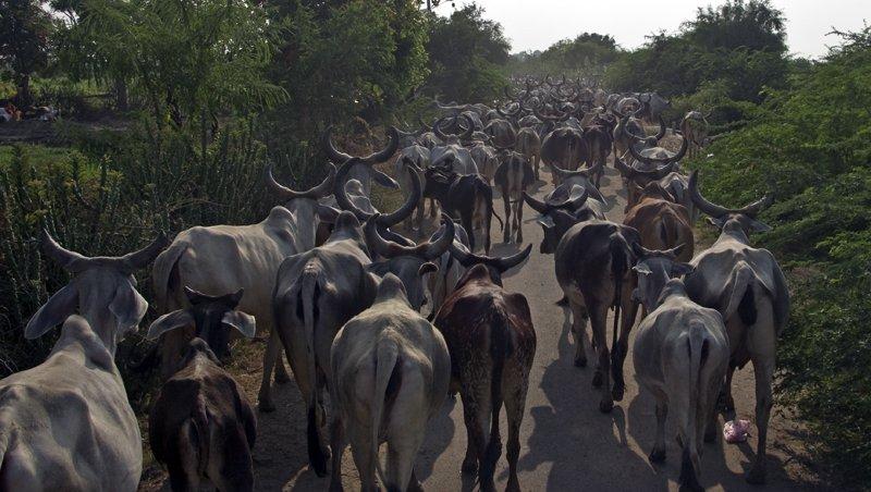 Traffic jam in the Kutch