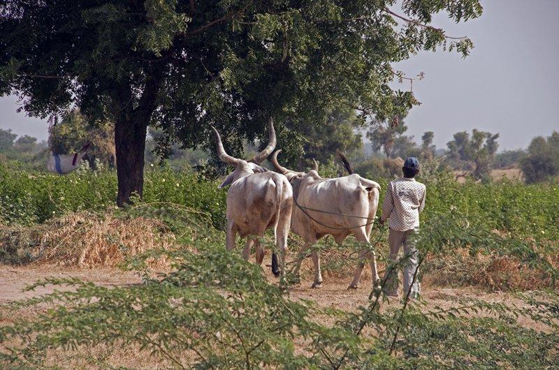 Huge-horned cows in Gujarat!  Biggest I've ever seen!