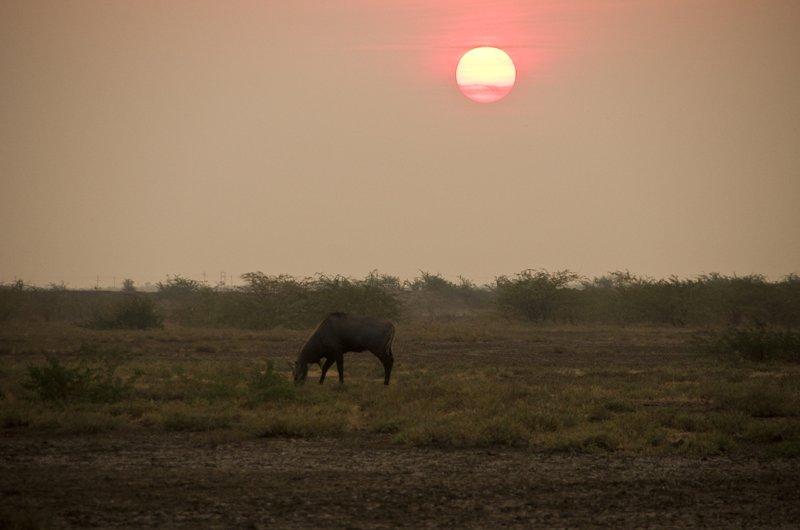 Nilgai in the desert sunset