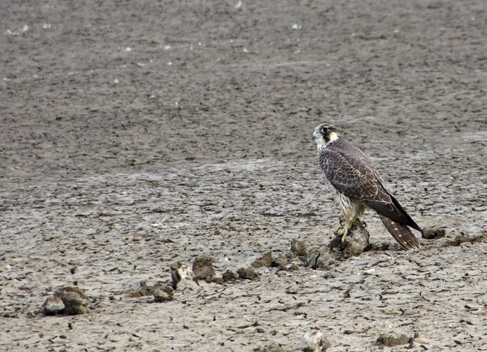 Many discussions and many weigh-ins about the identity of this falcon, till it was put to rest by Shukra, the best authority in all India!  Shaheen Peregrine Falcon it be!