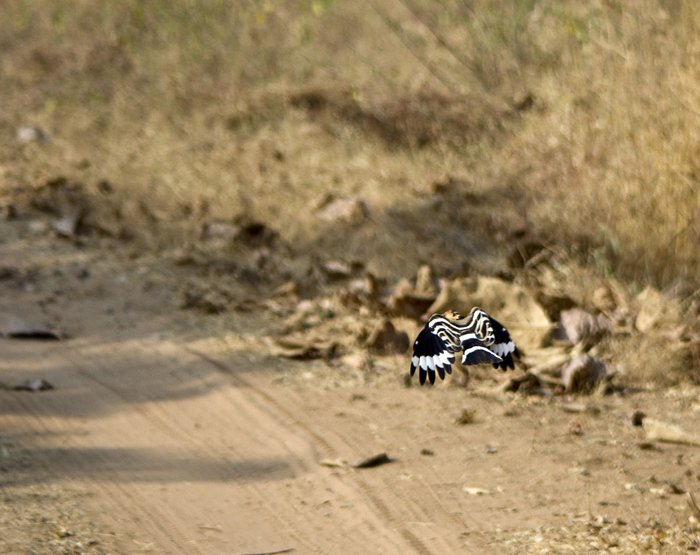 Had not seen a Hoopoe in flight before.  And I thought they were a beautiful bird before!