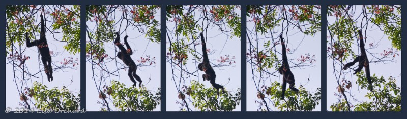 In the dark forest, against the bright sky, the silhouette of the gibbons often looked like a strange man as they swung easily through the trees.
