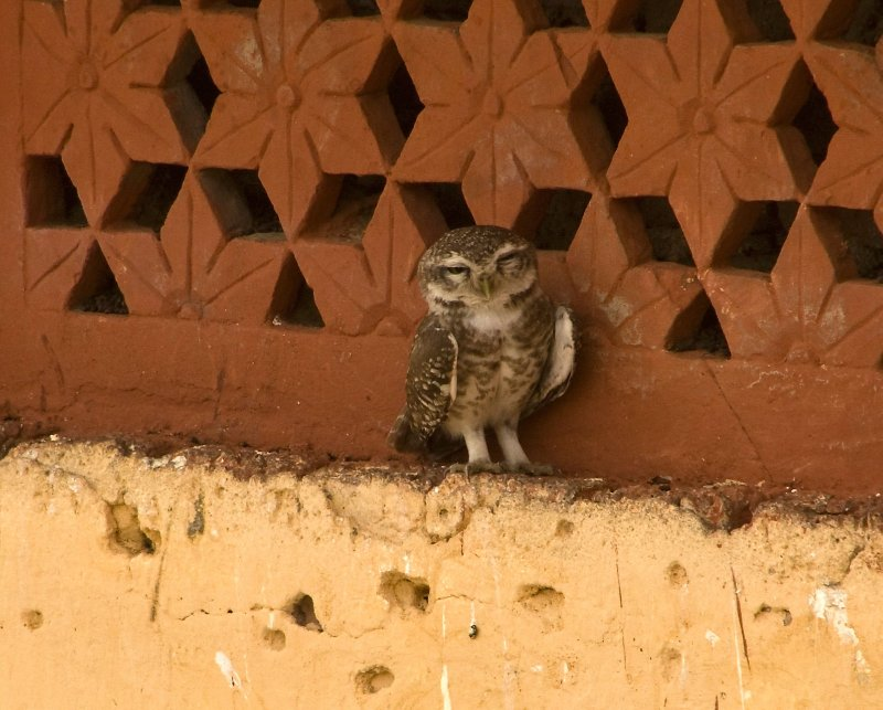 Spotted Owlet at Hotel Chanoud Garh