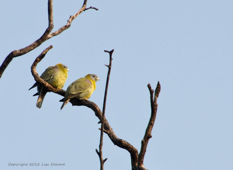 Lovely pair of Yellow-footed Green Pigeons.